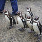 ペンギン行進イベント